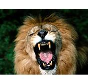 Lions Roaring Pics Lion Pictures And Closeup Wallpapers