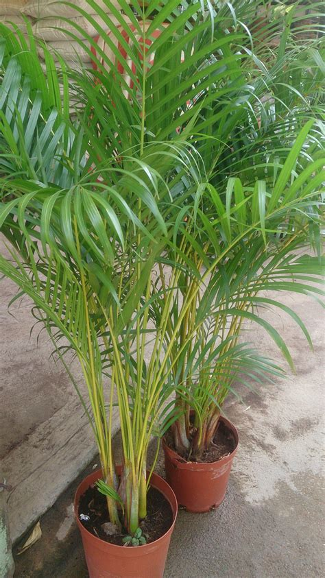 areca palm top 5 houseplants for spring rental living