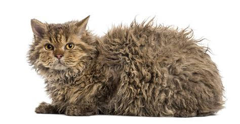 where is selkirk selkirk rex cats breed information omlet