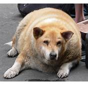 Fat Dog Or Cat 6 Supplements To Speed Weight Loss  Veterinary