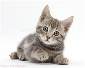 36522-Tabby-<strong>kitten</strong>-white-background.jpg