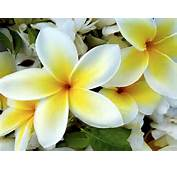 White Yellow Flowers Wallpapers  HD