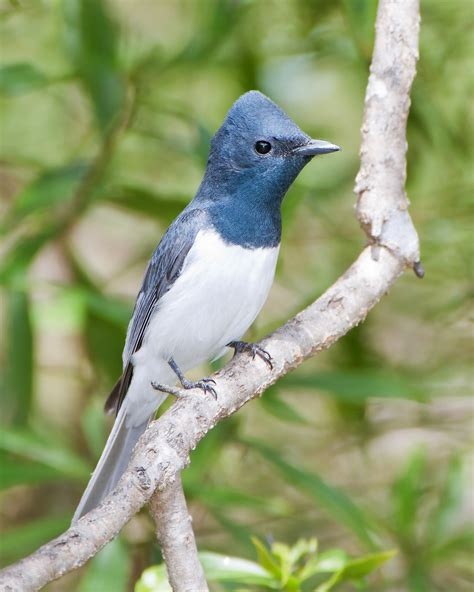 Find In Australia By Name For Free Leaden Flycatcher