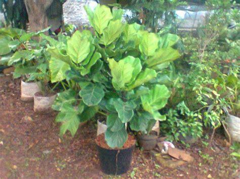 Nomor Cantik As Seri Minimalis 0 13 8 Aabb 1100 Abab 10103838 Ln5 jual pohon biola cantik jual tanaman hias jual