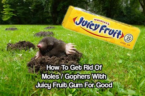 how to get rid of gophers in your backyard how to get rid of moles gophers with juicy fruit gum for good shtf prepping