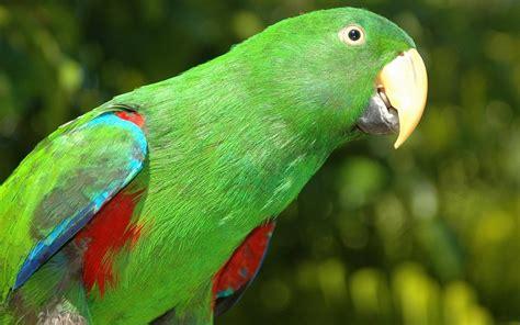 wallpaper of green parrot green parrot 1920x1200 wallpapers parrot 1920x1200