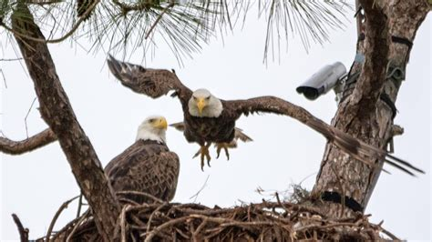 southwest florida eagle cam southwest florida eagle cam vidshaker