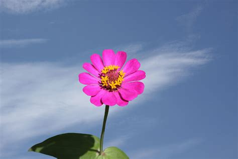 flower pics zinnia flower meaning flower meaning