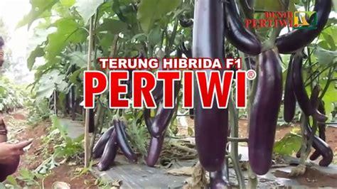 Benih Terong Ungu Tahan Virus benih pertiwi tv terong pertiwi panen serempak buah