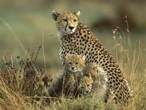 Cheetah the garden of eaden
