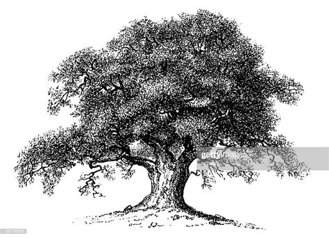 clipart illustrations vintage clip and illustrations oak tree stock