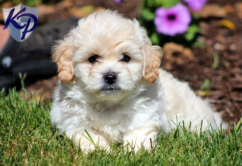 shichon puppies shichon puppy www pixshark images galleries with a bite