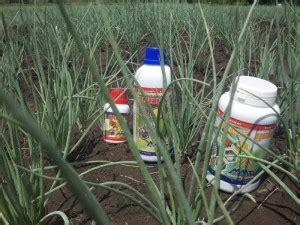 Pupuk Npk Mutiara Untuk Bawang Merah mengenal budidaya bawang merah agrokompleks mmc