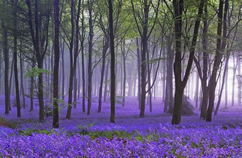 Bluebell Forest | enchanted forests carpeted in beautiful bluebells