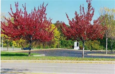 benton harbor, mi : red trees in the orchards mall parking