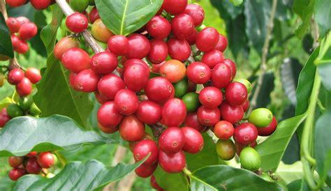 Apel Malang Cherry pd mekar tani abadi bibit kopi arabica dan robusta