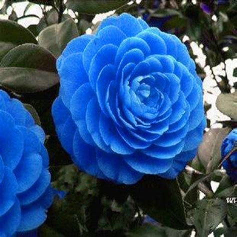 Cammelia Blue by Bleu 233 Lia Achetez Des Lots 224 Petit Prix Bleu 233 Lia En