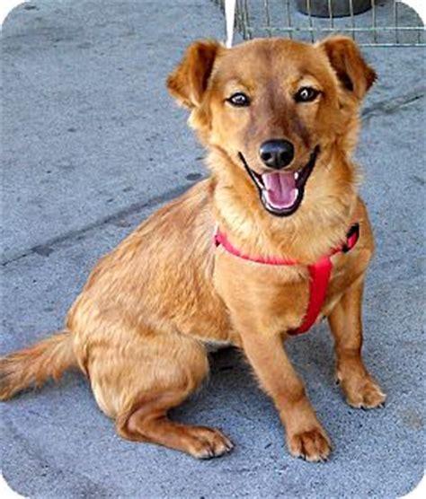 adopt golden retriever puppy los angeles seven adopted puppy los angeles ca golden retriever dachshund mix