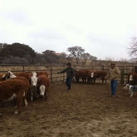 how to a working for cattle working cattle back at the ranch