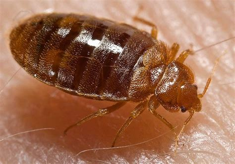 how do bed bugs live without food pesky house bugs bedbugs boneblogger science and the