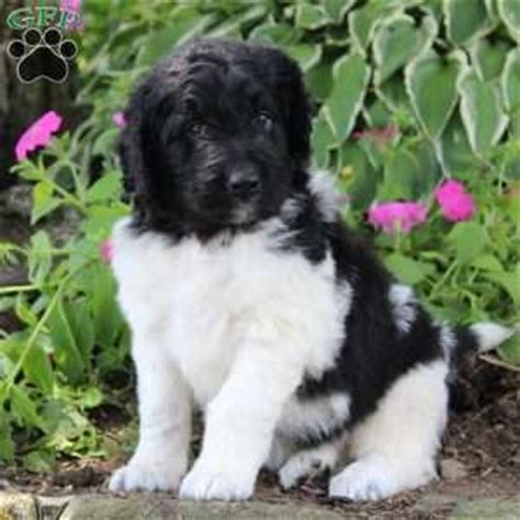 sugarcreek puppies newfypoo puppies for sale in pa