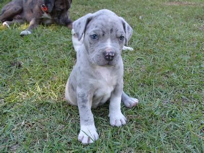 bulldog pitbull mix puppies for sale catahoula leopard pit bull mix breeds picture