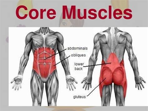 core muscles core muscles include