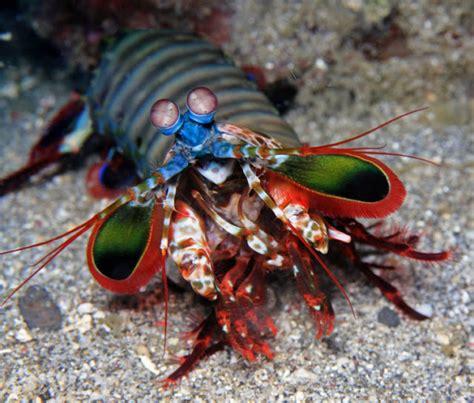 Cool Aquascapes The Dangerous Elusive And Powerful Mantis Shrimp