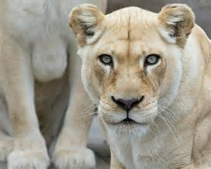 White lion related keywords amp suggestions white lion long tail