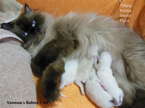 himalayan cats himalayan cat colors mount vista persians