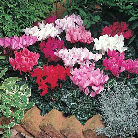 Pot Bunga Series 02 flower plants in cup cyclamen intermediate laser mixed