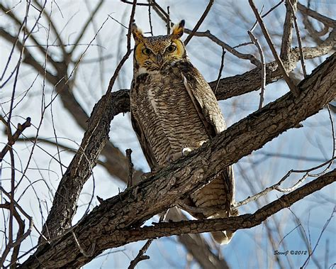 owl tree horned owl in tree photograph by stephen johnson