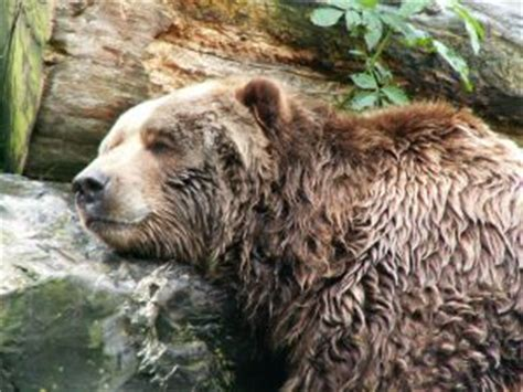 do bears use the bathroom during hibernation from the wikipedia hibernation tedquarters