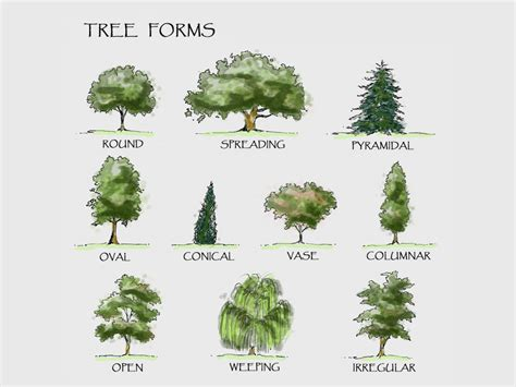 types of trees images reverse search tipos de pinos images reverse search