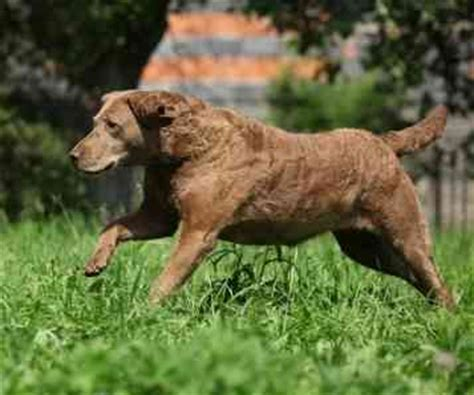 Chesapeake Bay Retriever Shed by Small Dogs That Are Protective Non Shedding Dogs