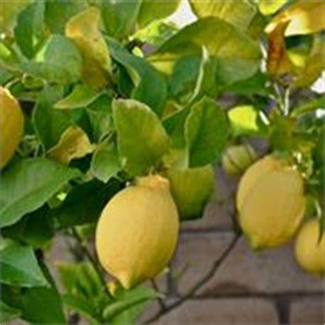 concime naturale per limoni in vaso concimazione limoni concime come e quando concimare limoni