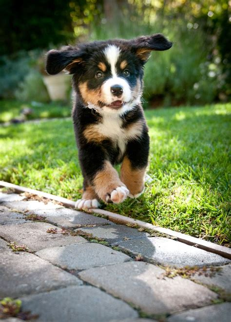 how much are bernese mountain puppies best 25 bernese mountain dogs ideas on
