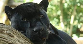 what color is a panther living alongside wildlife so you say you saw a black