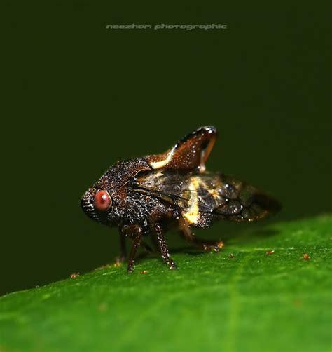 Cln 7 8 Coklat Gelap koleksi gambar treehopper planthopper leafhopper dan froghopper dari saya unikversiti