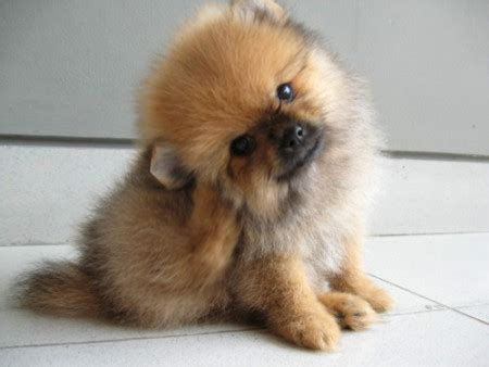 mini pomeranian teacup cuts for a pomeranian yorkie mix hairstyle gallery