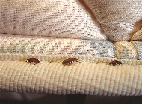 Bed Bugs Pics Mattress by Pictures Of Bed Bugs Gallery Of Bed Bug Images Photos