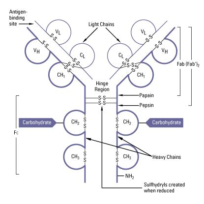 Fab Site Maxandchloecom 2 by Antibody Fragmentation Thermo Fisher Scientific