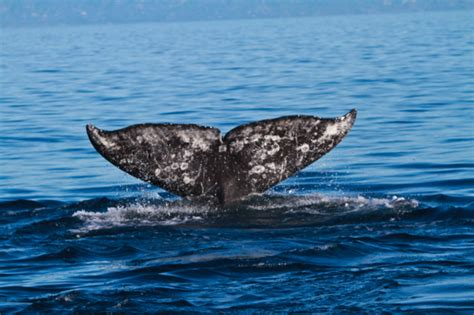whale malibu whale with malibu coastal adventures malibu