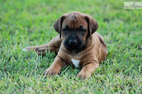rhodesian ridgeback puppies price rhodesian ridgeback puppy for sale near east tx 4584d905 3291