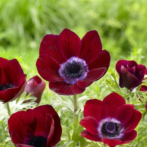 anemone bordeaux anemone de caen bordeaux gardens flowers and garden ideas