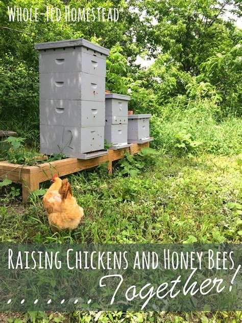 raising chickens honey bees together whole fed homestead