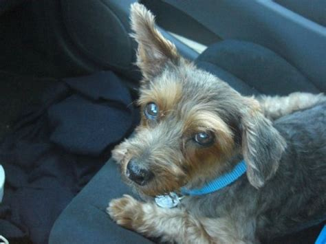 rat terrier and yorkie mix rat terrier yorkie mix pictures merry photo