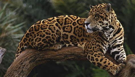imagenes de garra jaguar que come el jaguar donde viven como nacen