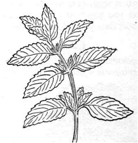 mint leaf coloring page herbs clipart peppermint classroom clipart