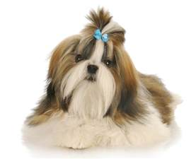 how to bathe a puppy shih tzu how to brush and bathe a shih tzu grooming tutorial